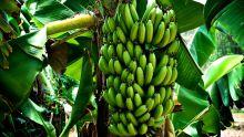 Chemin-Grenier : plus de 50 régimes de bananes volés dans une plantation