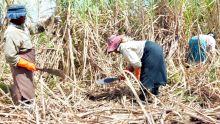 Industrie de la canne: les planteurs crient au «détournement» de sucre
