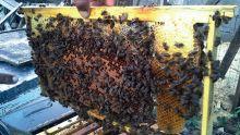 Apiculture: des mesures pour relancer la production de miel