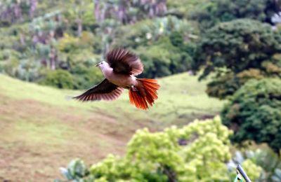 Des Pigeons des mares ont été relâchés dans  la vallée de Ferney,  jeudi dernier. (CREDIT PHOTO- Jacques de Spéville)