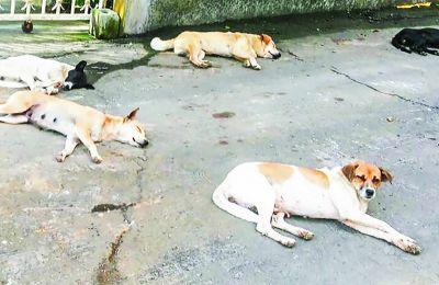 PAWS s'occupe, entre autres, de la stérilisation des chiens errants.