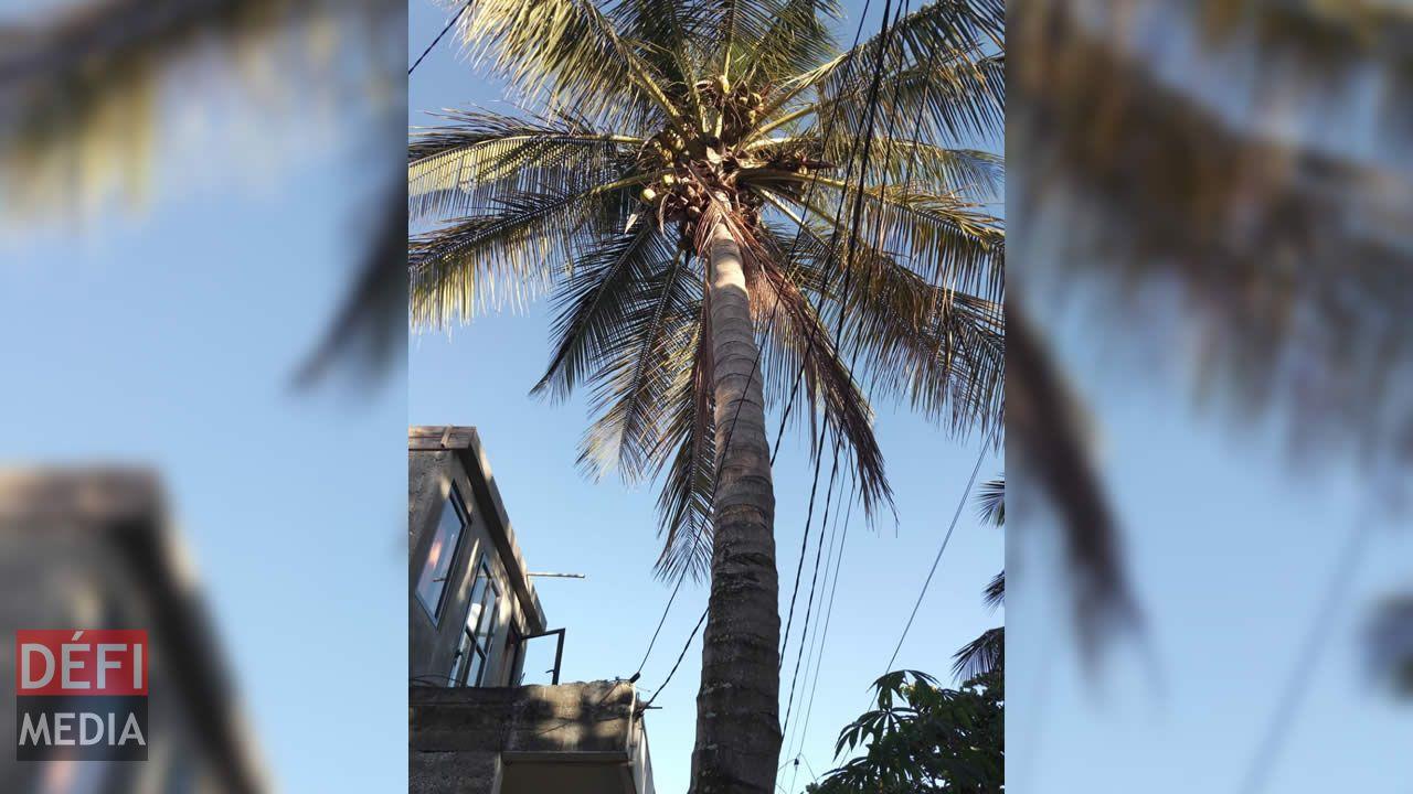 Un cocotier