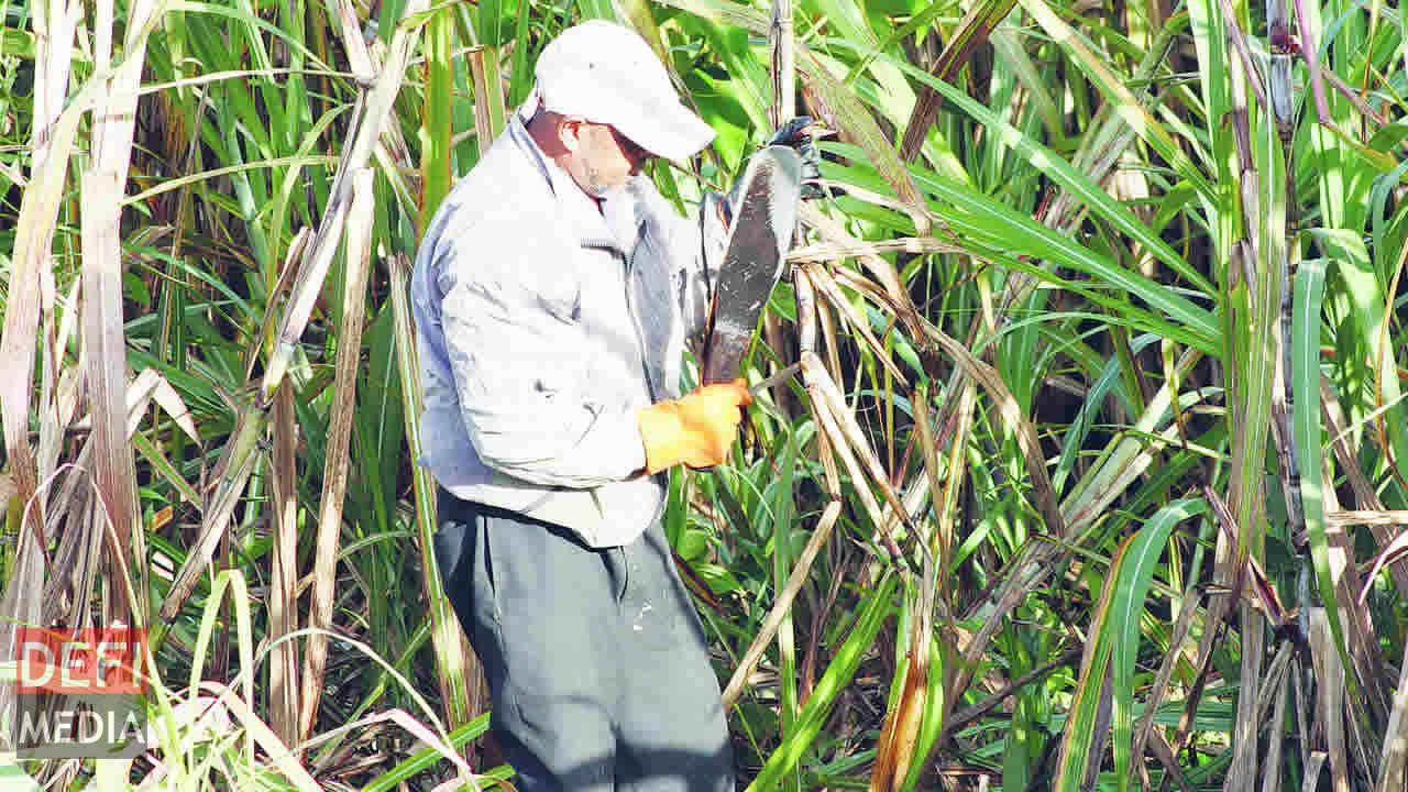 Les coupeurs de canne se font rares  dans les champs des petits planteurs.