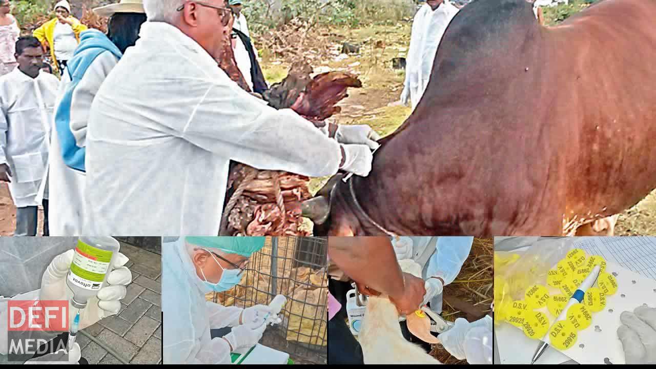 Fièvre aphteuse : au coeur de l'exercice de vaccination - Le Defi Media Group