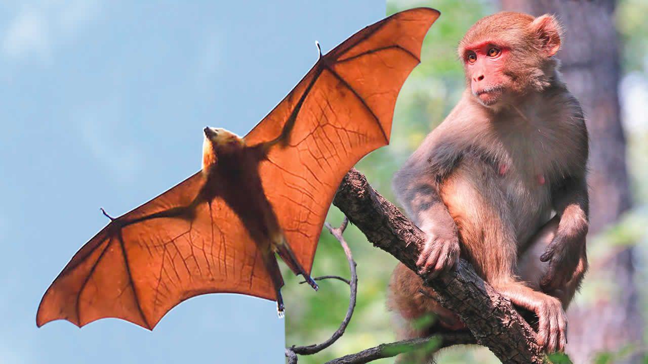 chauves-souris et des singes