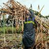 Research week à l'UoM : produire du bioplastique avec de la paille de canne à sucre à l'étude