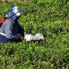 Cueilleurs de thé