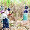 Crise aiguë : les sucriers s'enfoncent dans la mélasse!