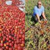 Surplus de pommes d'amour : des planteurs abandonnentleurs récoltes