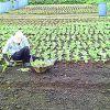 Marchands de légumes et planteurs exprimentleur détresse