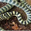 Que faut-il savoir sur le serpent qui a été aperçu à Quatre-Bornes ?