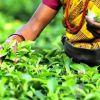 Allocation de Rs 8 000 par arpent de thé : une mesure bien accueillie par des planteurs