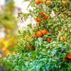 Sébastopol : 400 kg de mandarines volés d'un verger